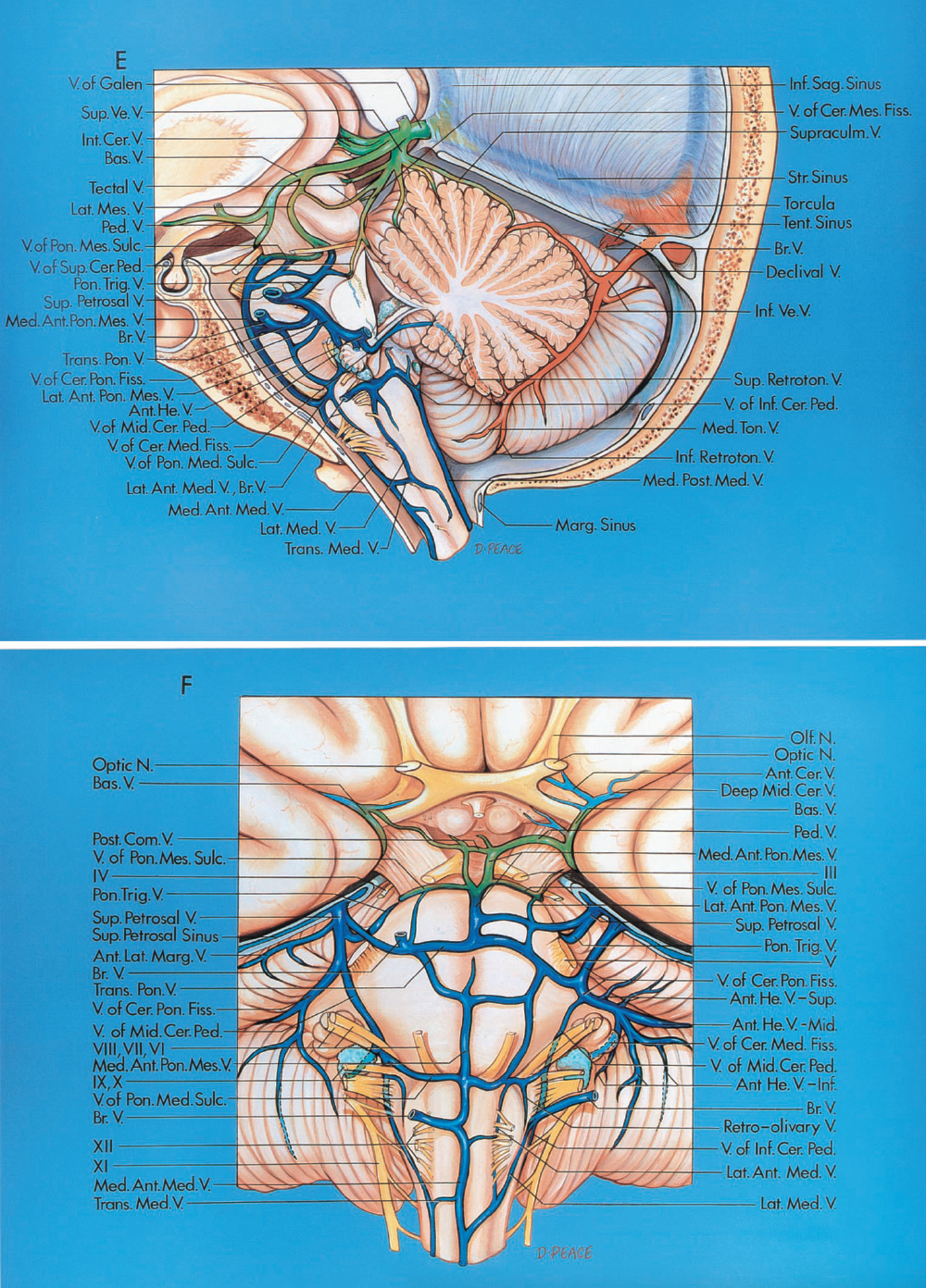 FIGURE 3.3. E and F. Veins of the posterior fossa. E, midsagittal section of cerebellum and fourth ventricle. Left lateral view.