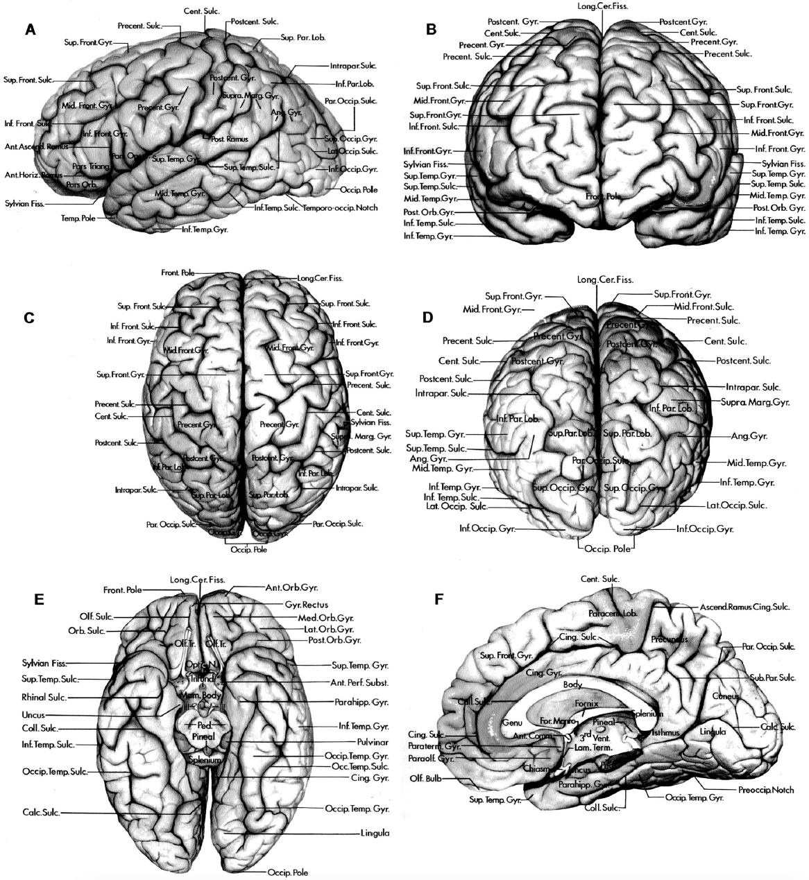 Figure 1.3. Lateral, medial, and inferior surfaces of the cerebral hemispheres. A–D, lateral surface (A, lateral view; B, anterior view; C, superior view; D, posterior view). E, inferior surface. F, medial surface. A–F, the longitudinal cerebral fissure separates the cerebral hemispheres. The lateral surface of the frontal lobe extends from the frontal pole to the central sulcus and is demarcated inferiorly by the sylvian fissure. The precentral gyrus is situated between the central and precentral sulcus. The superior and inferior frontal sulci divide the part of the lateral surface in front of the precentral gyrus into the superior, middle, and inferior frontal gyri. The inferior frontal gyrus is divided by the anterior horizontal and the anterior ascending rami of the sylvian fissure into the pars orbitalis, pars triangularis, and pars opercularis. The parietal lobe is demarcated anteriorly by the central sulcus and posteriorly by a line extending from the superior limit of the parieto-occipital sulcus to the preoccipital notch. The anterior part of the parietal lobe is formed by the postcentral gyrus, which is situated between the central and postcentral sulci. The area behind the postcentral sulcus is divided by the intraparietal sulcus into the superior and inferior parietal lobules. The inferior parietal lobule includes the supramarginal gyrus, which surrounds the upturned end of the posterior ramus of the sylvian fissure, and the angular gyrus, which surrounds the upturned posterior end of the superior temporal sulcus. The lateral occipital sulcus divides the lateral aspect of the occipital lobe into the superior and inferior occipital gyri. The lateral surface of the temporal lobe behind the temporal pole is divided into the superior, middle, and inferior temporal gyri by the superior and inferior temporal sulci. The inferior surface of the frontal lobe is formed by the gyrus rectus and the orbital gyri. The olfactory tract courses in the olfactory sulcus, which separates the gyrus rectus from the orbital gyri. The orbital sulci divide the orbital surface of the frontal lobe into the anterior, medial, lateral, and posterior orbital gyri. The inferior surface of the temporal lobe, proceeding from medial to lateral, is formed by the parahippocampal, occipitotemporal, and inferior temporal gyri. The occipitotemporal sulcus separates the occipitotemporal and inferior temporal gyri. The collateral and rhinal sulci separate the parahippocampal and occipitotemporal gyri. A narrow strip of cortex at the posterior end of the parahippocampal gyrus, called the isthmus of the cingulate gyrus, wraps around the splenium of the corpus callosum and connects the posterior ends of the parahippocampal and cingulate gyri. On the medial surface of the hemisphere, the callosal sulcus separates the corpus callosum from the cingulate gyrus. The cingulate sulcus separates the cingulate gyrus from the superior frontal gyrus. The ascending ramus of the cingulate sulcus ascends along the posterior margin of the paracentral lobule. The subparietal sulcus separates the precuneus and the cingulate gyrus. The parieto-occipital sulcus separates the precuneus and the cuneus. The calcarine sulcus extends forward from the occipital pole and divides the medial surface of the occipital lobe between the cuneus and lingula. The paraterminal and paraolfactory gyri are situated below the corpus callosum in front of the lamina terminalis and anterior commissure. The inferior surface of the occipital lobe is formed by the lower part of the lingula and inferior occipital gyrus and the posterior part of the occipitotemporal gyrus. The mamillary bodies and infundibulum are in the floor of the third ventricle below the foramen of Monro. The oculomotor nerves arise on the medial surface of the cerebral peduncles. The optic nerves are situated at the medial ends of the sylvian fissures. Ang., angular; Ant., anterior; Ascend., ascending; Calc., calcarine; Cent., central; Cer., cerebral; Cing., cingulate; Coll., collateral; Comm., commissure; Fiss., fissure; For., foramen; Front., frontal; Gyr., Gyrus; Horiz., horizontal; Inf., inferior; Infund., infundibulum; Intrapar., intraparietal; Lam., lamina; Lat., lateral; Lob., lobule; Long., longitudinal; Mam., mamillary; Marg., marginal; Med., medial; Mid., middle; N., nerve; Occip., occipital; Olf., olfactory; Operc., opercularis; Orb., orbital, orbitalis; Par., parietal; Par. Occip., parieto-occipital; Paracent., paracentral; Parahipp., parahippocampal; Paraolf., paraolfactory; Paraterm., paraterminal; Ped., peduncle; Perf., perforated; Post., posterior; Postcent., postcentral; Precent., precentral; Preoccip., preoccipital; Sub. Par., subparietal; Subst., substance; Sulc., sulcus; Sup., superior; Supra. Marg., supramarginal; Temp., temporal; Temporo-occip., temporo-occipital; Term., terminalis; Tr., tract; Triang., triangularis; Vent., ventricle.