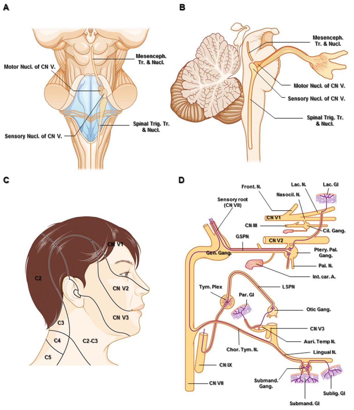 Figure 1. A. Posterior schematic anatomic view and superimposed diagram of the brain stem showing nuclei of the trigeminal nerve. The motor nucleus is situated medial to the sensory nucleus of the trigeminal nerve. B. Sagittal schematic view passing the right trigeminal nuclei. C. The cutaneous innervation of the head and upper neck. There is little overlap between the three dermatomes of the trigeminal nerve. D. Parasympathetic connections of the pterygopalatine, otic, and submandibular ganglia. The parasympathetic fibers are shown as purple lines. Abbreviations: Auri. Temp. N., auriculotemporal nerve; C., cervical; Car., carotid; Chor.Tym. N., chorda tympani nerve; Cil., ciliary; CN., cranial nerve; Front., frontal; Gang., ganglion; Gen., geniculate; Gl., gland; GSPN., greater superficial petrosal nerve; Int., internal; Lac., lacrimal; Mesenceph., mesencephalic; N. nerve; Nasocil., nasociliary; LSPN., lesser superficial petrosal nerve; Nucl., nucleus; Par., parotid; Ptery. Pal., pterygopalatine; Subling., sublingual; Submand., submandibular; Tr., tract; Trig., trigeminal; Tym. Plex., tympanic plexus. (Images courtesy of AL Rhoton, Jr.)