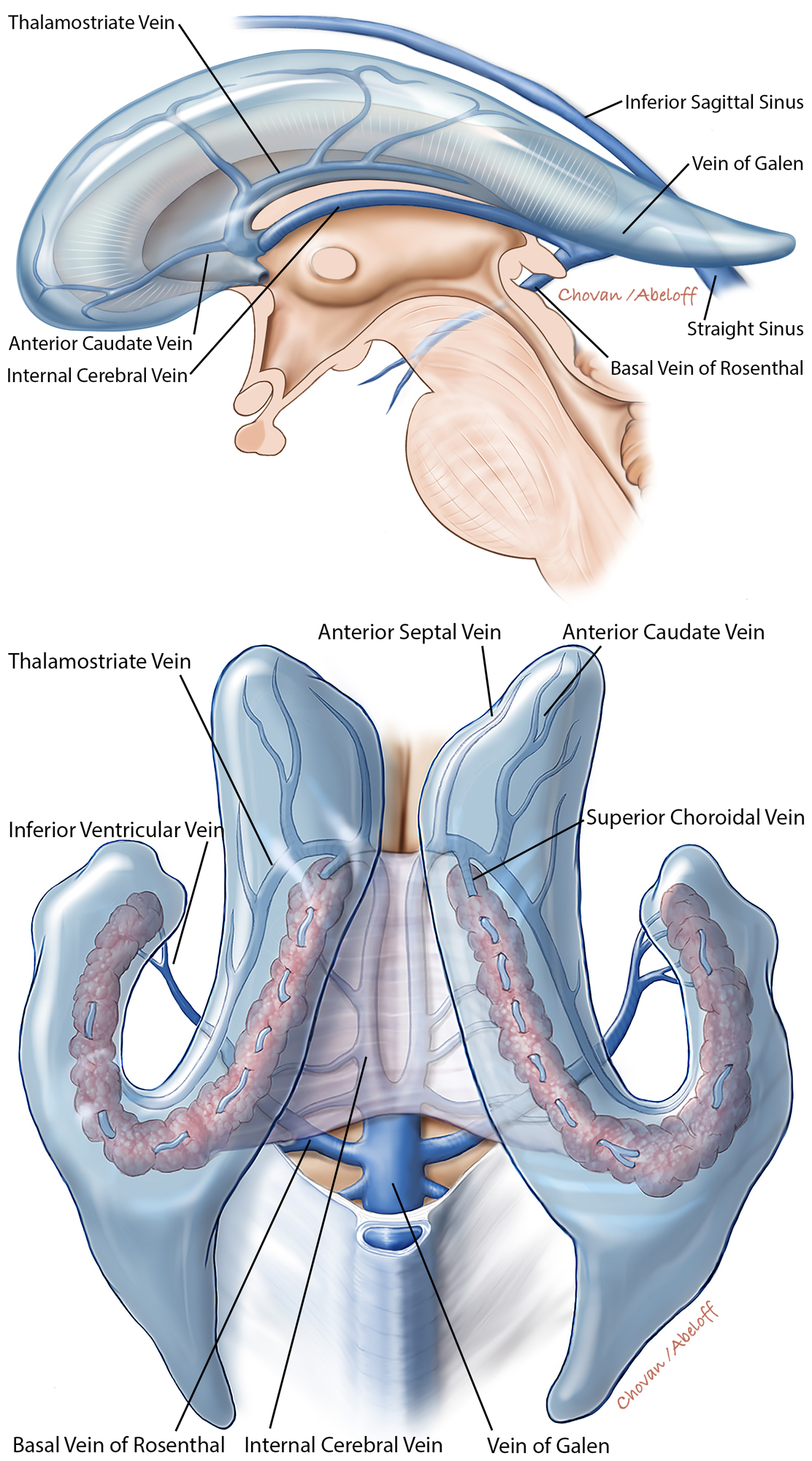 Figure 6: The ventricular venous anatomy is further illustrated in the above illustrations (sagittal, top, and superior, bottom, views). The veins especially associated with operative procedures are marked.