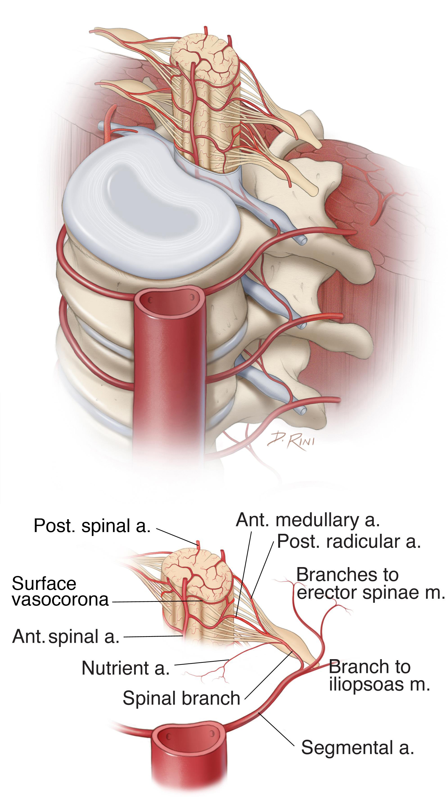 Figure 6: Diagram of the spinal cord vascular anatomy. Please see text.