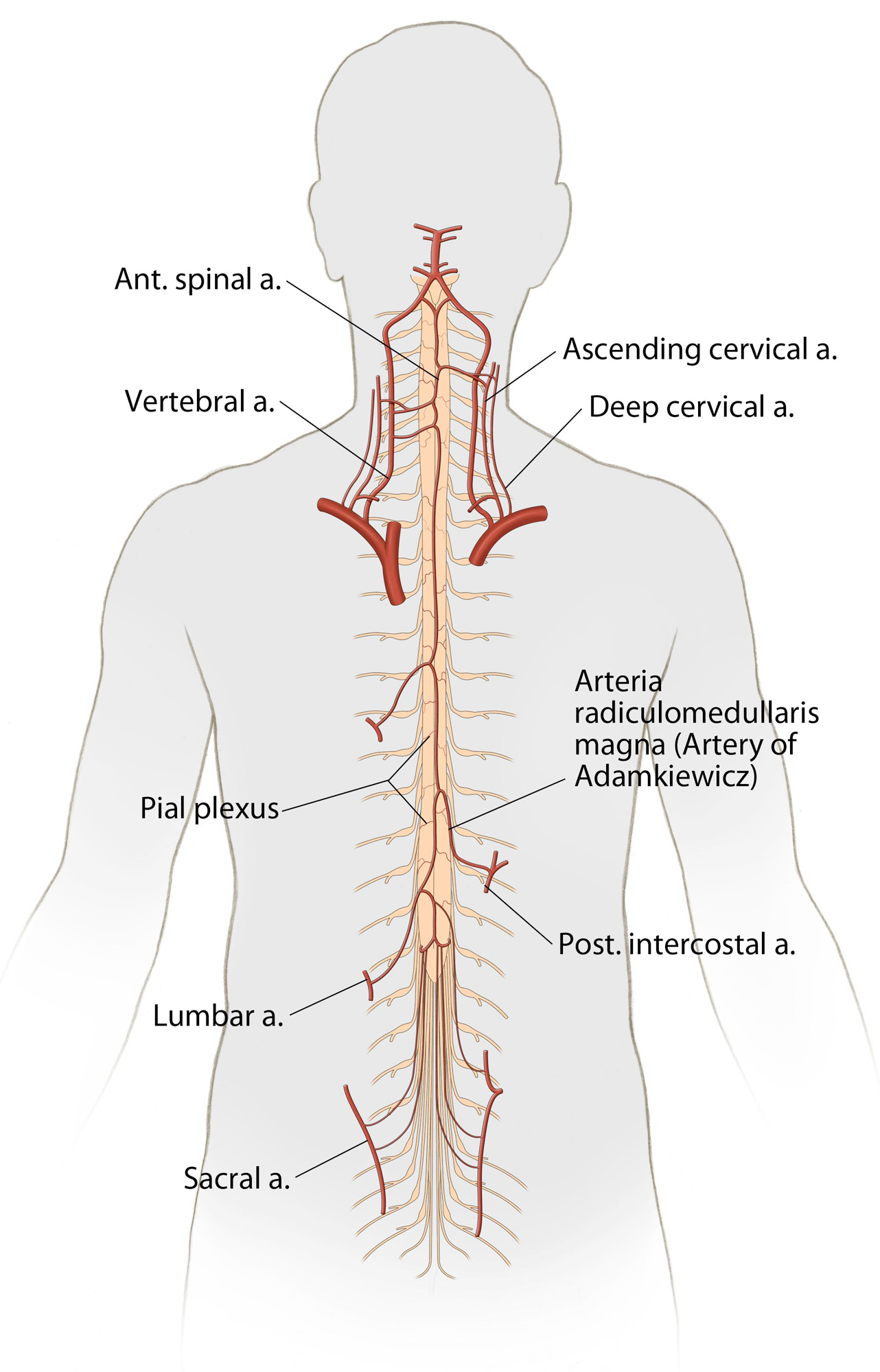 Operative Spinal Cord Anatomy The Neurosurgical Atlas By Aaron Cohen Gadol M D It represents 60% of spinal cord gliomas, 90% of filum terminale tumors. operative spinal cord anatomy the neurosurgical atlas by aaron cohen gadol m d