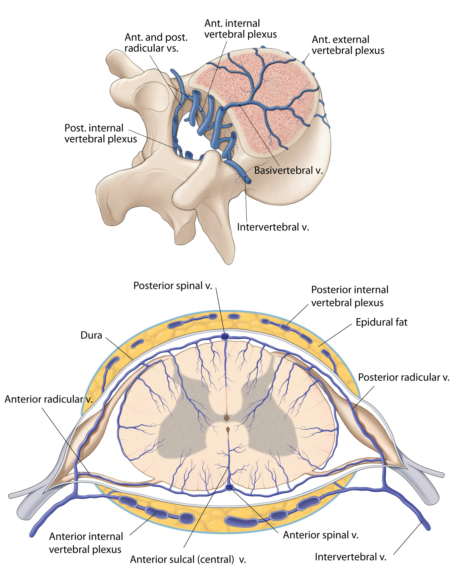 Figure 12: Diagram of the spinal cord venous anatomy from a cross-sectional perspective.